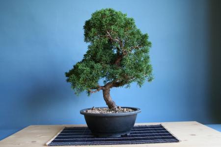 Chinesischer Wacholder - Juniperus chinensis 160,-- EUR statt 260,-- EUR