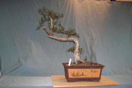 Olive - Olea europaea sylvetris